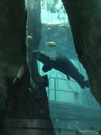 California Academy of Sciences: Large tank with tunnel underneath