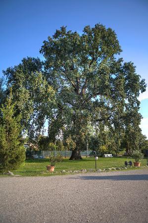 La Quercia Antica: la grande quercia centenaria
