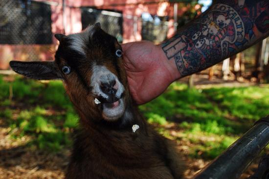 Brooksville, FL: goat