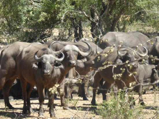 Monwana Game Lodge: Buffalo