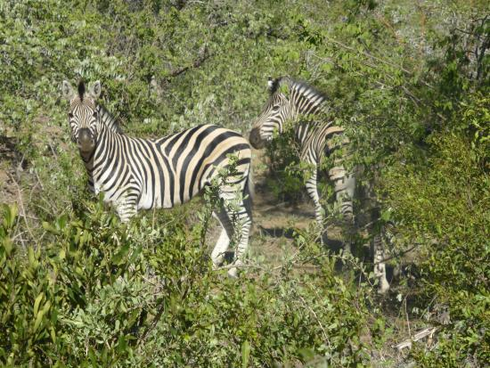 Monwana Game Lodge: Zebra