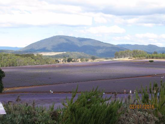 Tasmania, أستراليا: Another view of the lavender fields
