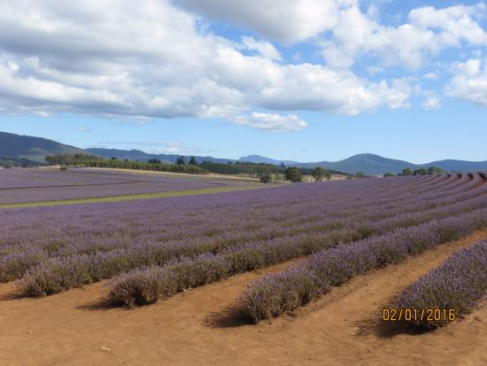 Tasmania, Australia: View of the lavender