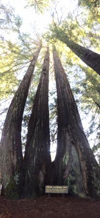 Myers Flat, Californien: Pano of cathedral trees