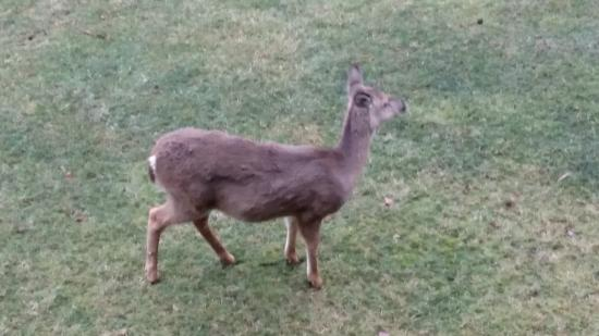 Salt Fork Lodge and Conference Center: A deer that wondered up near our balcony.