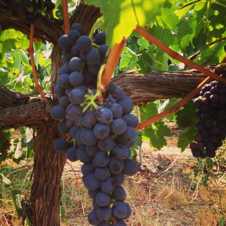 Danville, Kalifornien: Grapes....where it all starts