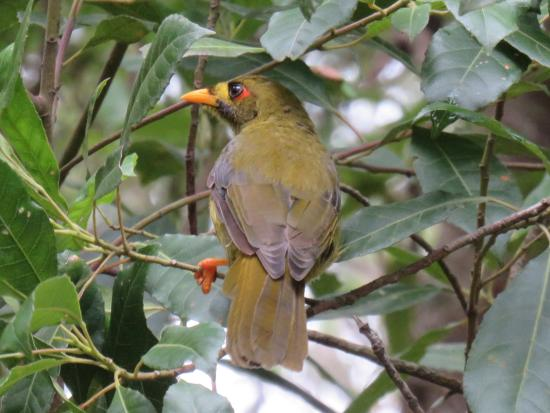 Gipsy Point, Avustralya: Bellbird