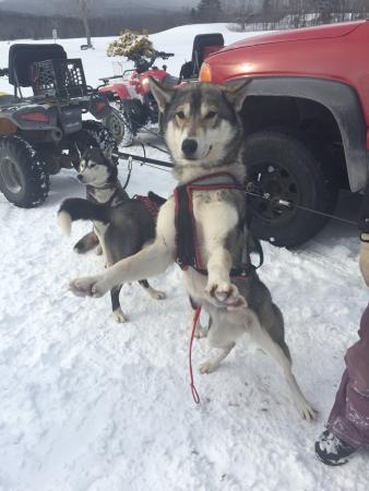 Campton, Nueva Hampshire: Wonderful trip! Dogs were very sweet and excited to run. The mushers made a great team, letting