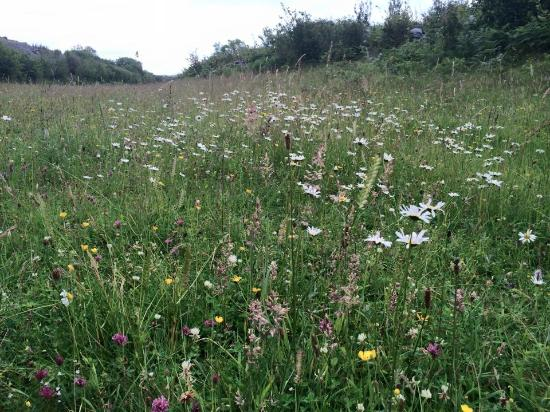 Kilfenora, Irlande : diverse field of wildflowers