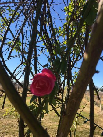 Bryan, TX: Pretty rose on the grounds even in Jan