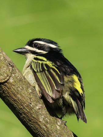 Nkuringo Bwindi Gorilla Lodge: Goldbürzel-Bartvogel/Yellow-rumped Tinkerbird (Pogoniulus bilineatus mfumbiri), Nkuringo, Bwindi