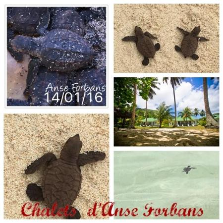 Chalets d'Anse Forbans: Turtles hatchlings at Chalets d Anse Forbans