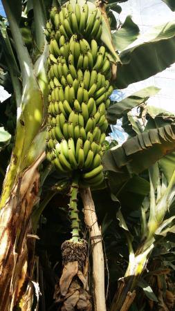Oulad Teima, Marokko: bananeraie