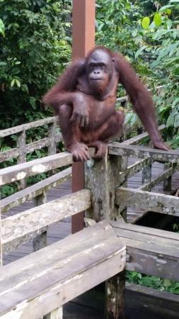 Orang Utan Sanctuary: разве он не прекрасен))