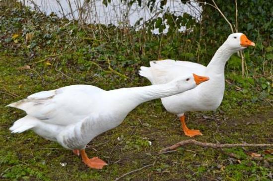 Ravenshead, UK: The geese