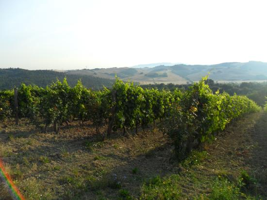 Micciano, Ιταλία: vigna, vineyard