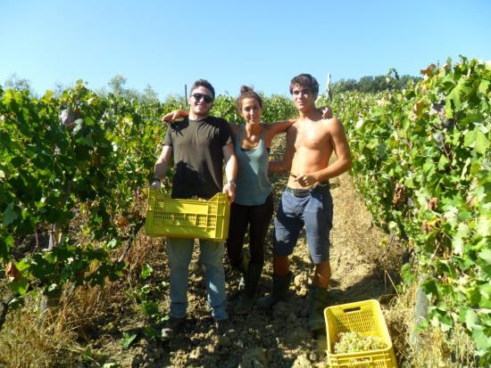 Micciano, Italia: harvest, vendemmia