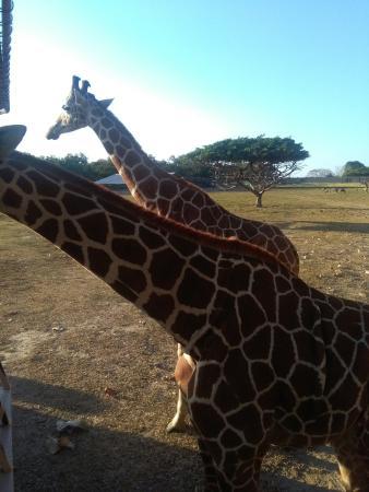 Africa Safari張圖片