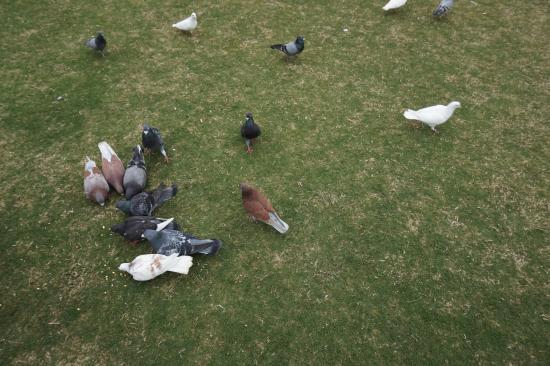 Xiamen Bailuzhou Park: pigeons