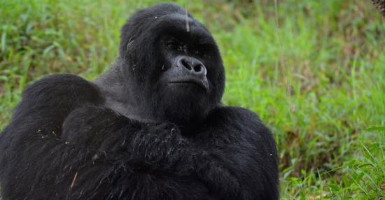 Kisoro, Uganda: Gorilla