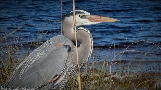 Gulf Islands National Seashore - Florida District: Great Blue Heron at the Gulf Islands National Seashore