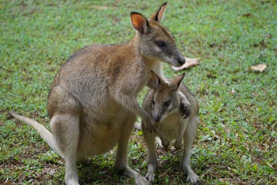 Hibiscus Lodge: Breakfast with wallabies
