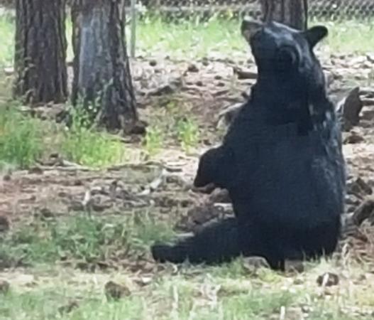 Williams, AZ: Bear