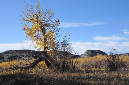 Dinosaur Provincial Park: Cottonwood tree in late fall along the river banks