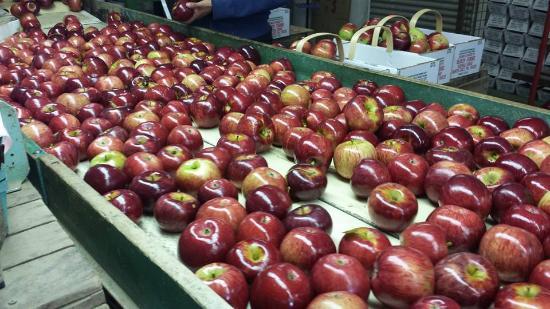 นอร์ทอีสต์, เพนซิลเวเนีย: Apples