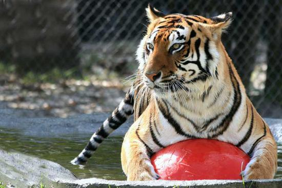 Sarasota, FL: Swimming Tigers Love Their Happy Home