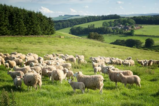 Lauder, UK: Local landscape with sheep