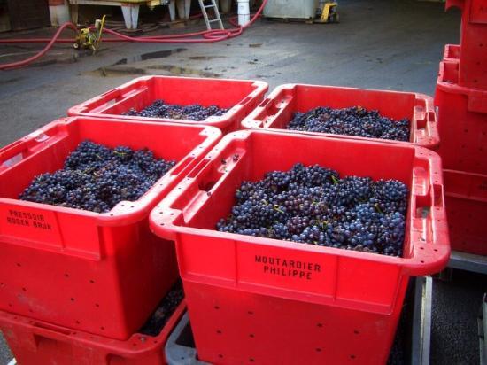 Ay, France : Grapes ready for pressing at Champagne Roger Brun