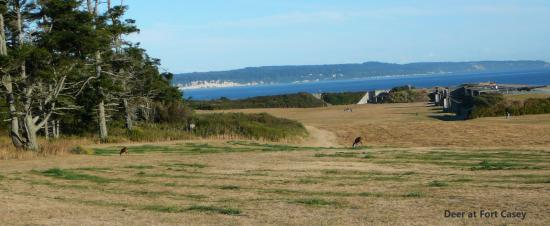 Coupeville, WA: Deer at Fort Casey