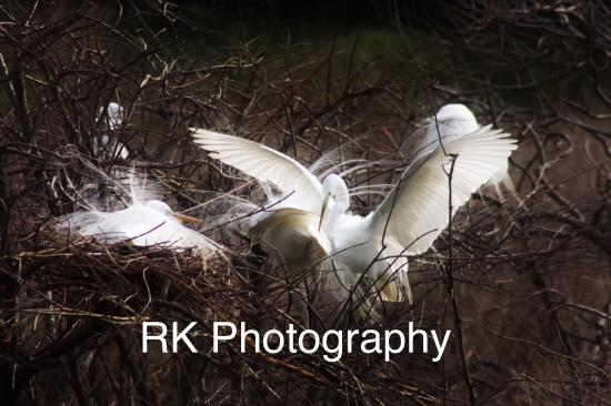 Port Royal, SC: Great Egrets in full mating plumage.