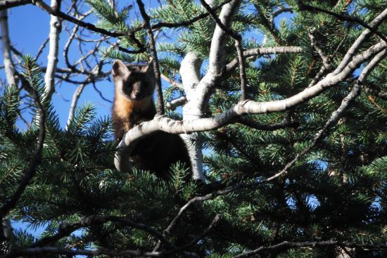 Coleman, แคนาดา: pine marten