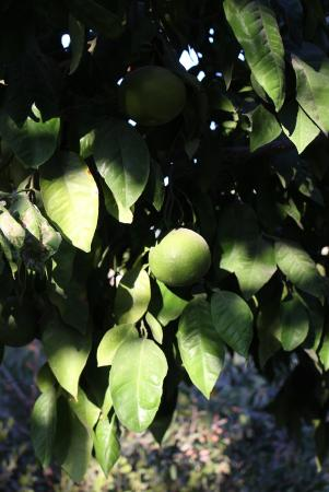 The Frenkels Bed and Breakfast: citrus tree