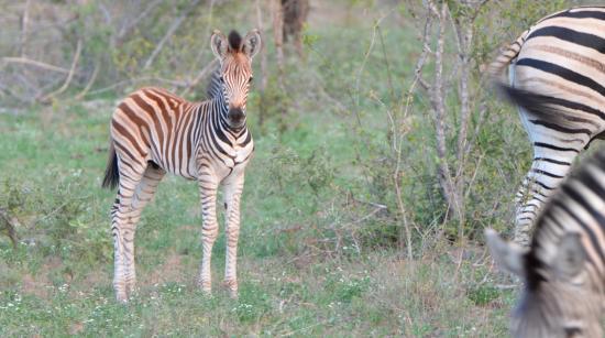 nThambo Tree Camp: a baby zebra