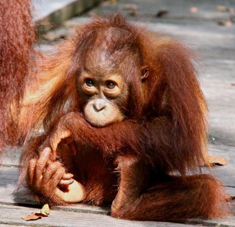Orangutan Applause - Day Tours