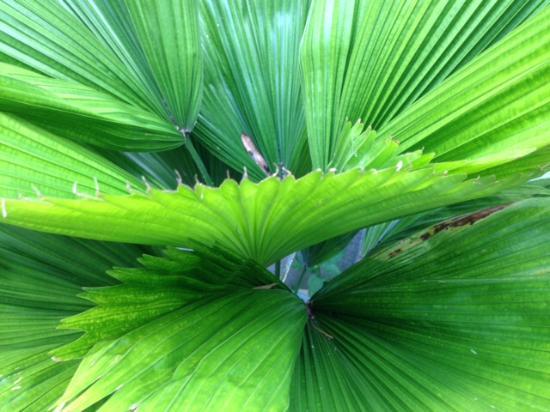Chanticleer: Beautiful fern