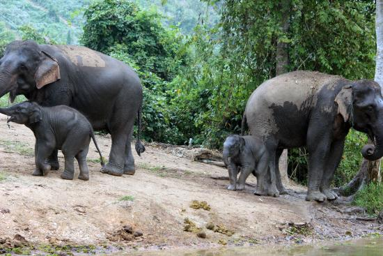 Sayaboury, Laos: Two elephant mothers with a 10-month-old and 3-month-old, as part of the Baby Bonus programme.