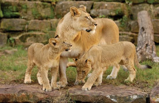 BEST WESTERN Fort Worth Inn & Suites: Zoo Lions