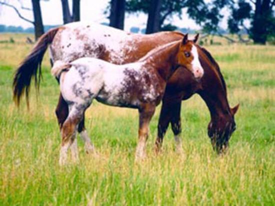 Moscow, Αϊντάχο: Appaloosa Horse Club