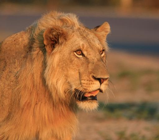 Khakiweed Photographic Safaris: young male lion sunset