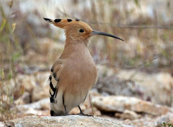 Greece Bird Tours: Hoppoe in Athens