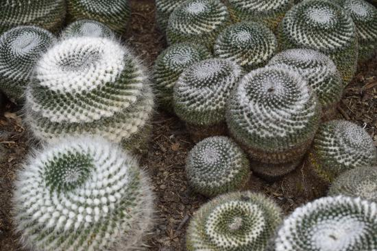 nice collection of different cactus picture of kalimpong cactus