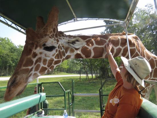 Cumberland, OH: Tuffy the giraffe.