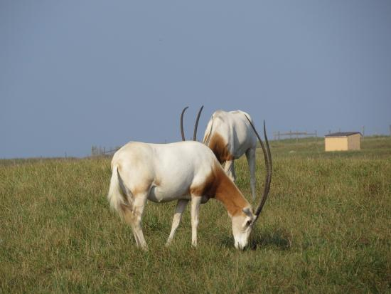Cumberland, OH: Scimitar-horned Oryx.