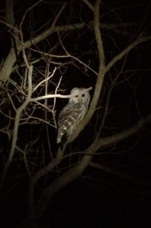 At Home In The Woods Bed And Breakfast: Barred owl in driveway