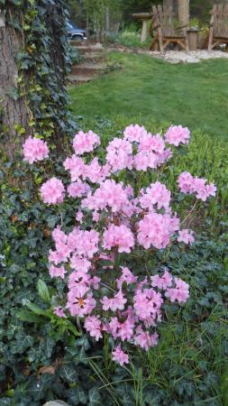 Chesterton, IN: Rhododendron in our garden