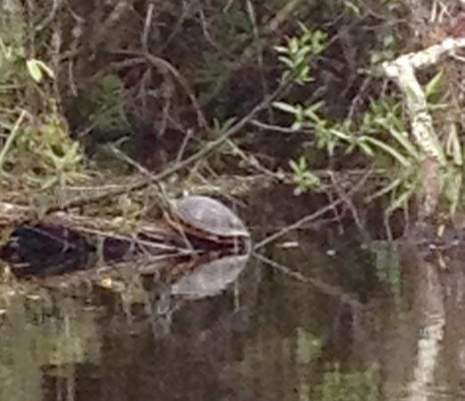 Everglades Area Tours: Mangrove tour- turtle
